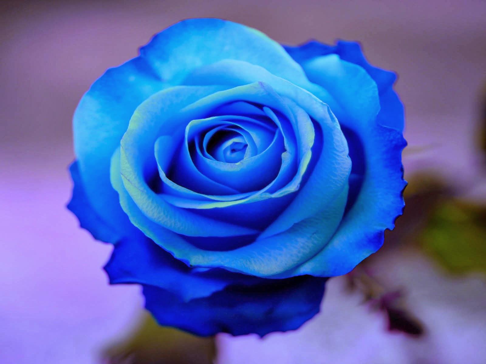 mawar biru indah