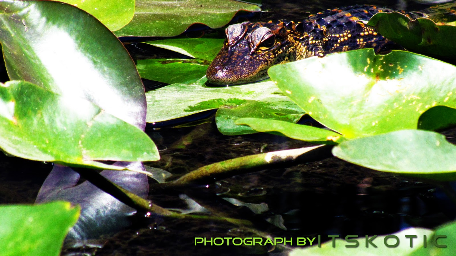 Baby Alligator Florida Everglades Picture image