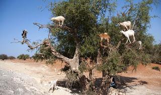 BEBERAPA ekor kambing memanjat pokok argan untuk memakan buahnya di sebuah gurun dekat Essaouira, Maghribi semalam.