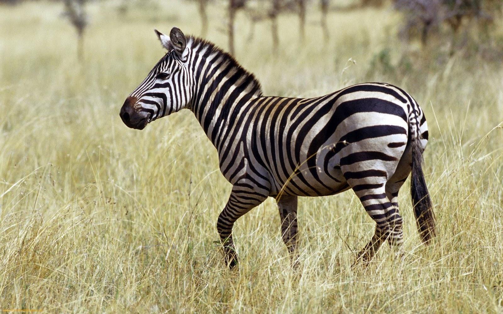 http://1.bp.blogspot.com/-BoVTf9ffmqQ/UHvG-CFNQJI/AAAAAAAAIKk/Ew_YFt1zxew/s1600/Beautiful-black-and-white-Zebra-1.jpeg