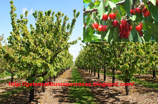 How to Grow Your Own Cherry Farming Business