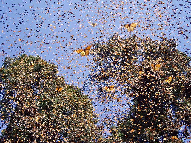 Monarch butterfly migration tree - photo#21