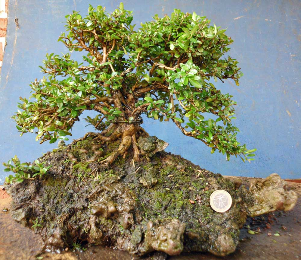 Natureart Bonsai Some Lonicera Nitida