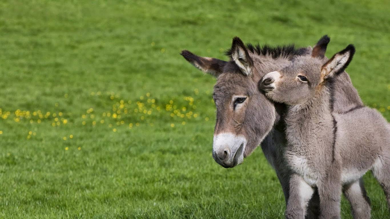 Ane du Cotentin donkey (Equus asinus) in meadow with foal, Normandy, France (© J.-L. Klein & M.-L. Hubert/Minden Pictures) 618