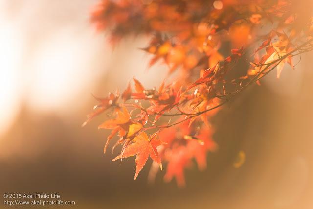 逆光で幻想的に写った紅葉の写真