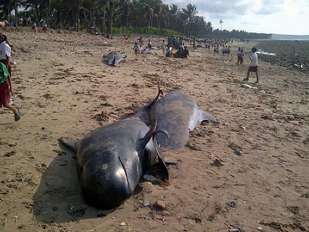 Cerca de 41 baleias morreram encalhadas na Indonésia, moradores comeram partes dos animais