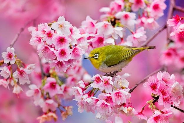 sakura blossom-5