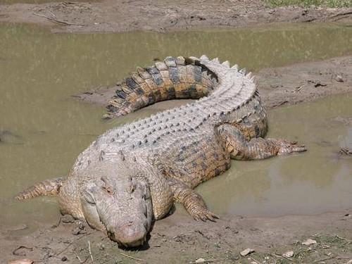 binatang terbesar di dunia - Buaya Air Asin