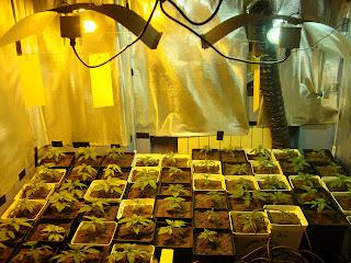 halojenuros metalicos, alta presión de sodio, cannabis interior, indoor