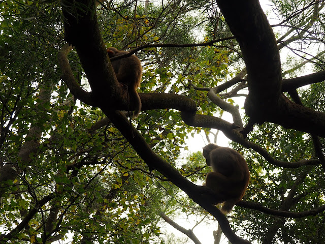 Monkeys in the trees around the Lion Rock hiking trail, Hong Kong