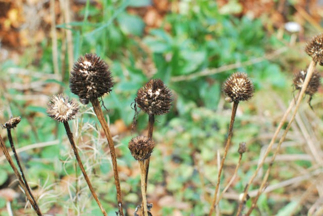 Multiple Seedheads of coneflowers