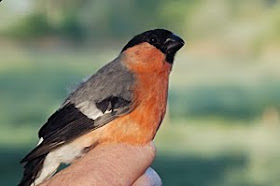 Bullfinch