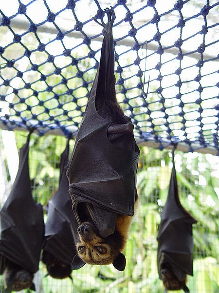 Spectacled flying fox doesn't possess echolocation