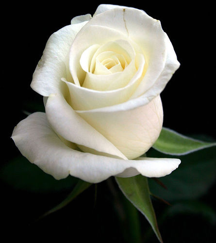 Single White Rose Meaning