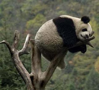 Oso Panda gigante descansando en la última rama de un árbol