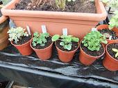 Newly arrived Angel Pelargoniums