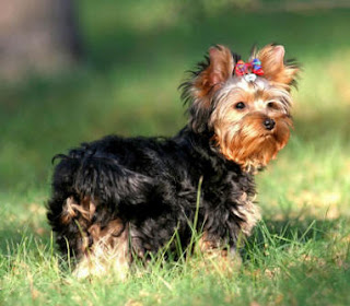very cute Yorkshire Terrier puppy walking in the garden wallpaper