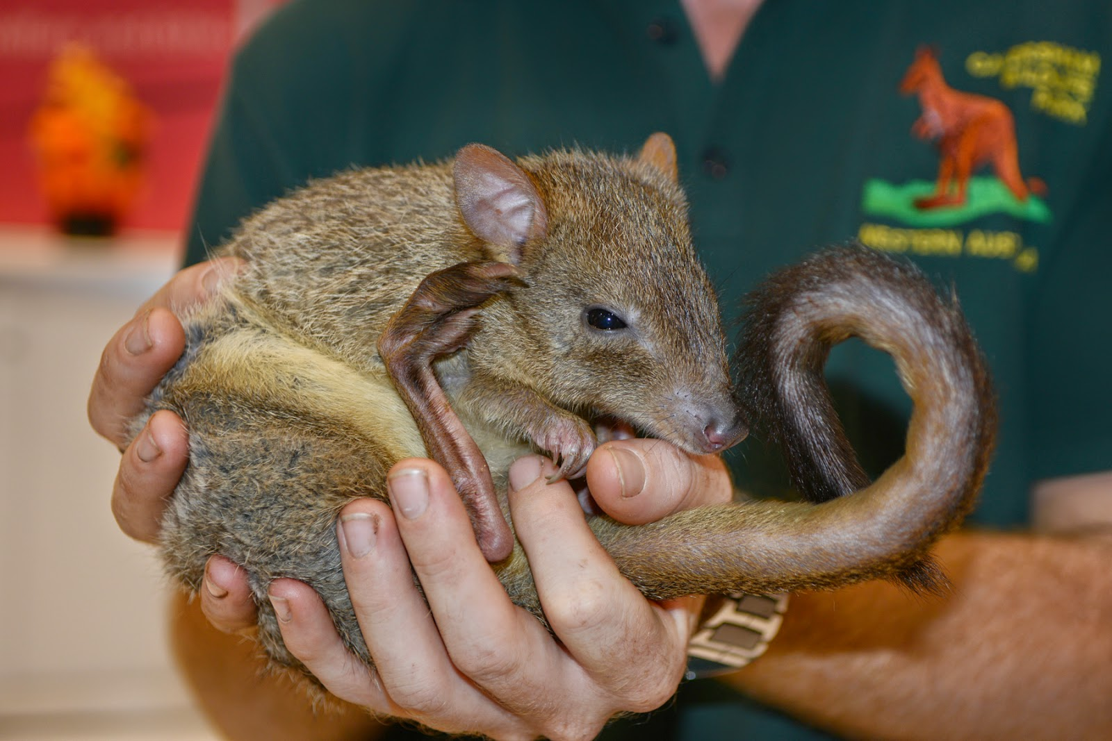 Brush tail Bettong