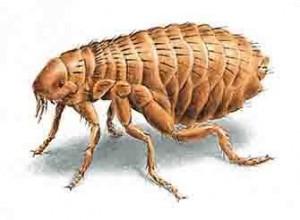 como acabar com pulga