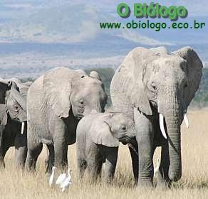 elefante-africano-das-savanas