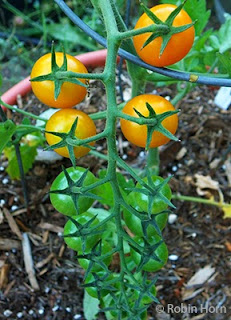 Sungold Cherry Tomatoes Ripening in Garden