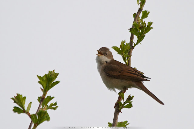 Grasmus - Whitethroat - Sylvia communis