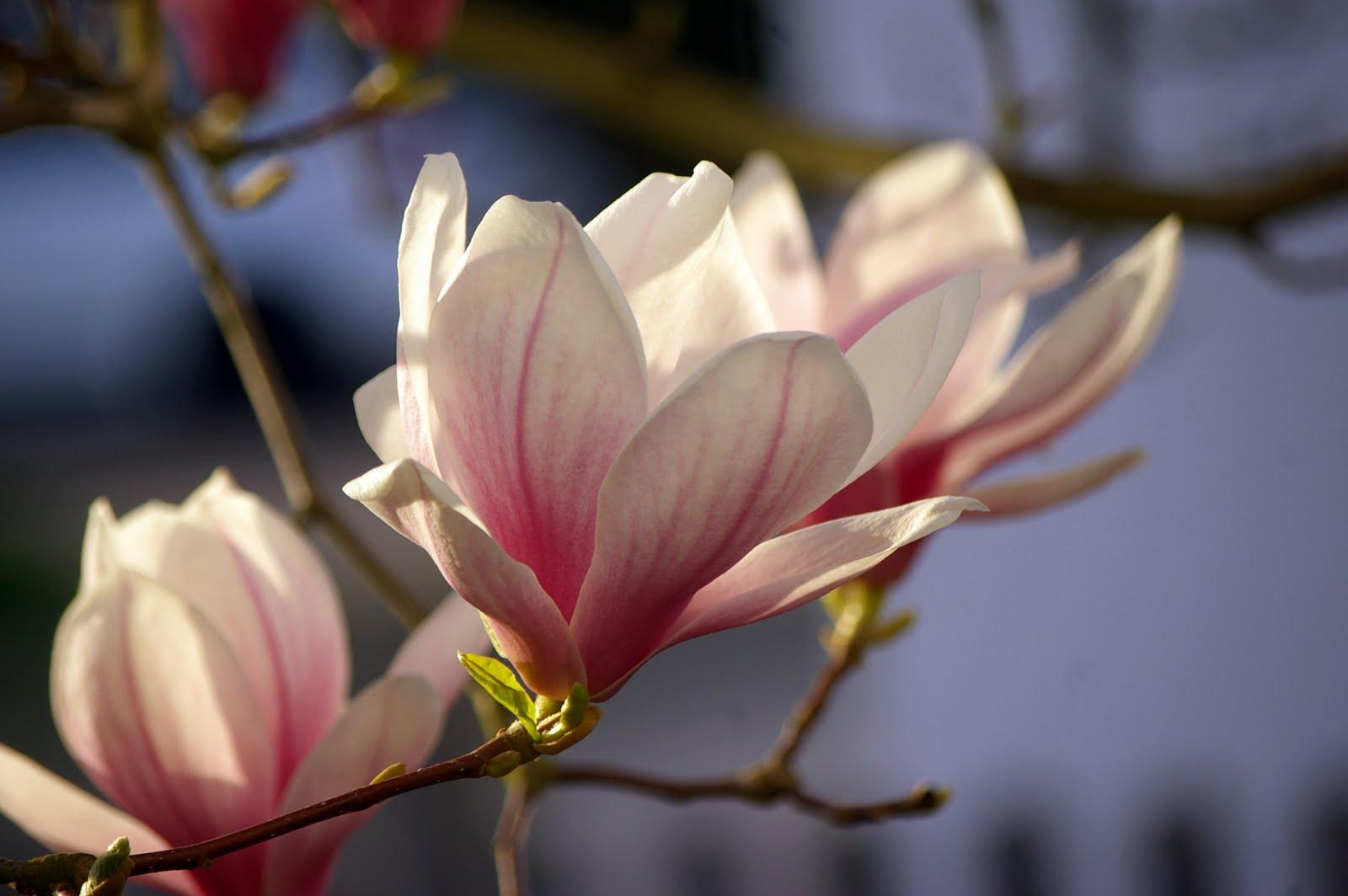 das leben der bastels ich liebe meine magnolie. Black Bedroom Furniture Sets. Home Design Ideas