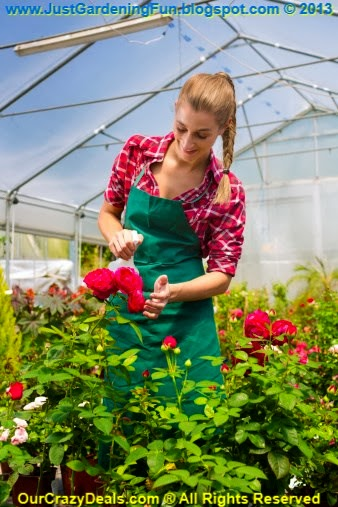 How to Guarantee to Grow Gorgeous Greenhouse Roses
