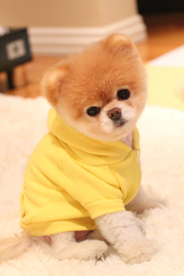 Beli Em A 231 227 O Boo O Cachorro Mais Fofo Do Mundo