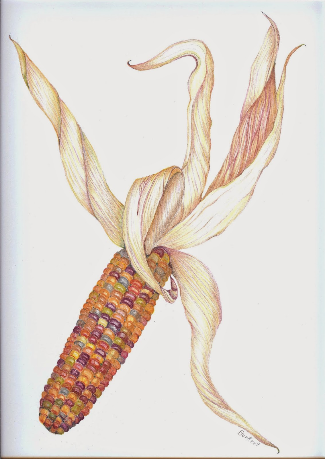 Indian Corn Drawing Pencil Indian Corn