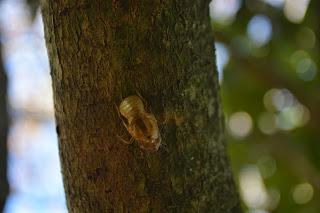 Piel de chicharra sobre tronco de un aromo