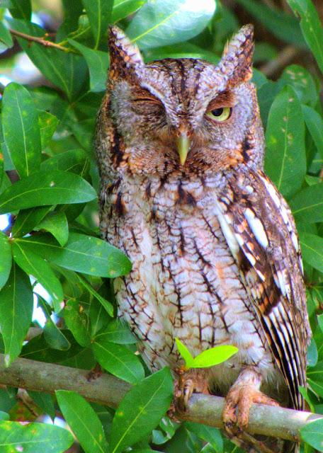 Male Gray Eastern Screech Owl in Florida