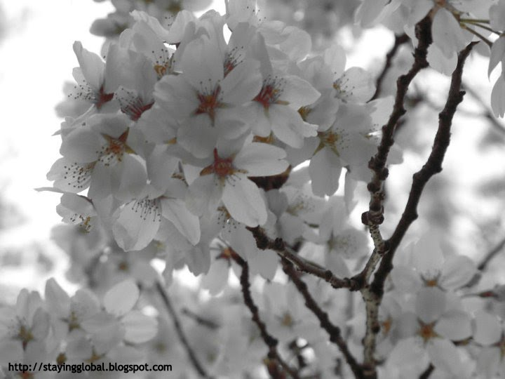 A japanese life cherry blossom the different kinds white with a tinge of pink the leaves of these trees do not appear till the flowers begin to fall off huddled together in bunches these blossoms are mightylinksfo