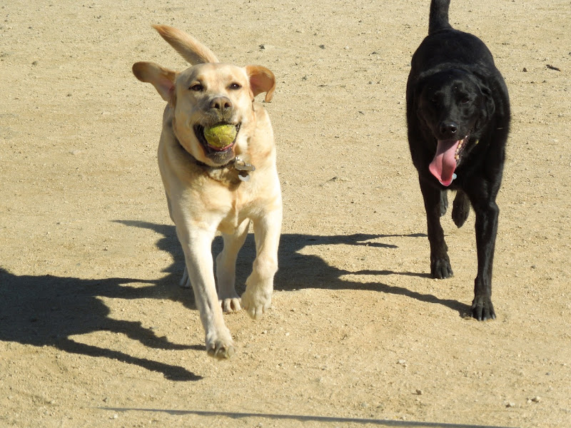 Labradors fetching ball