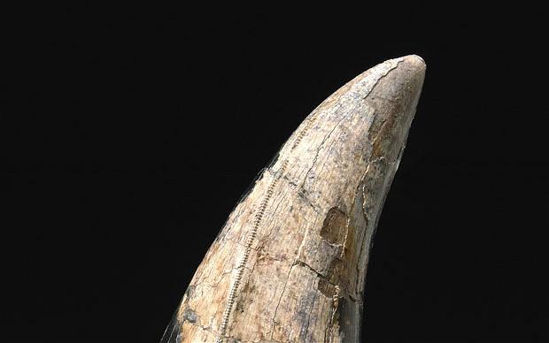 Dinosaur tooth / teeth for sale