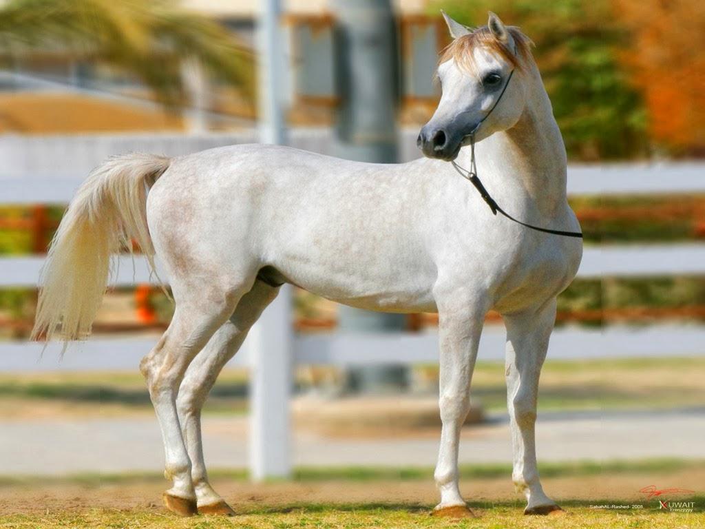 "<img src=""http://1.bp.blogspot.com/-Bu4c-OWqZb8/UtkUtW58vyI/AAAAAAAAIfI/bXUkUj558lg/s1600/animal-wallpapers-white-horse.jpeg"" alt=""white horse"" />"