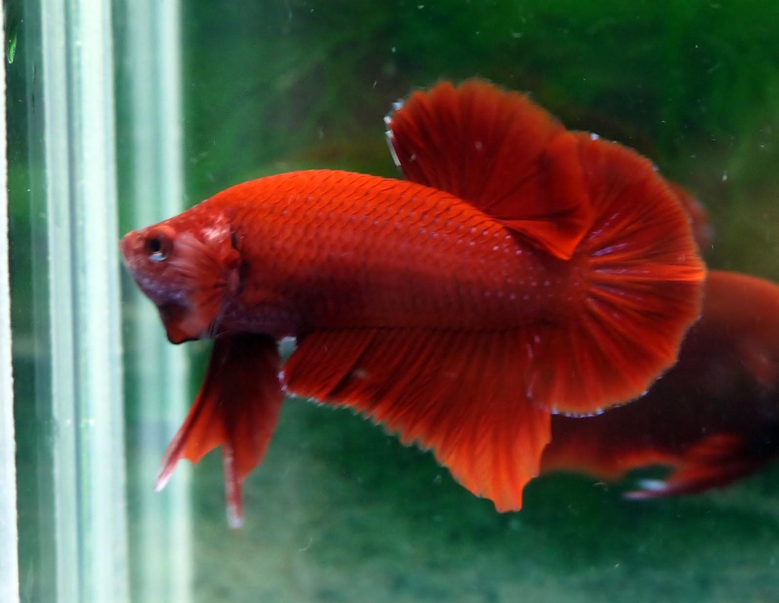 AquaBid.com - Archived Auction # fwbettashmp1388884121 - <<< Super ...