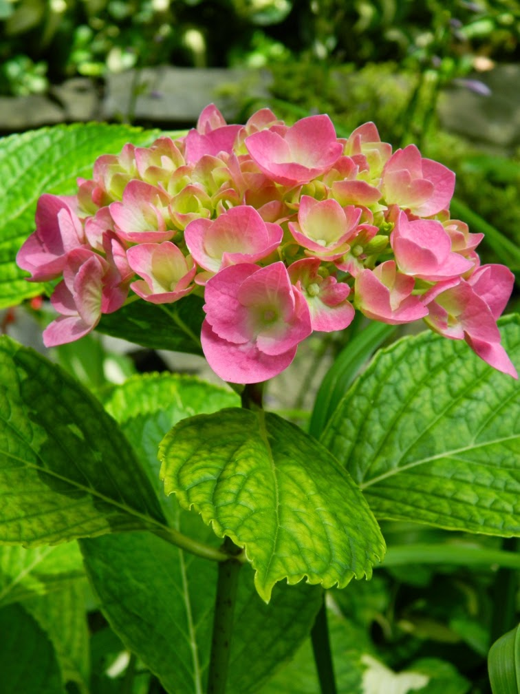 Hydrangea macrophylla hortensia by garden muses-not another Toronto gardening blog