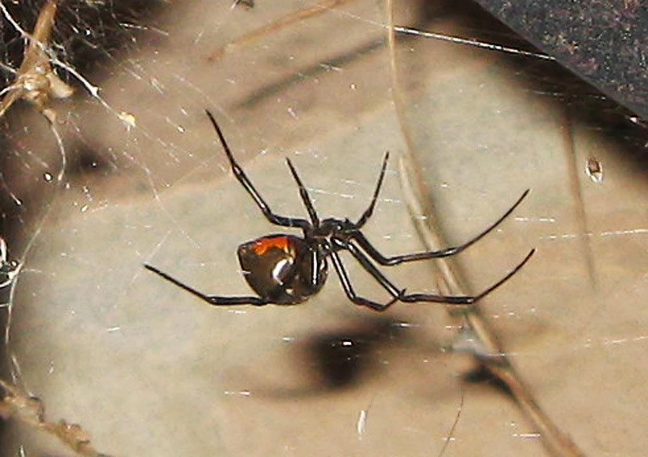 desert black widow spider - photo #32