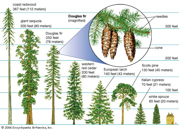 Forestry Learning Definition Of Conifer Coniferous Forest