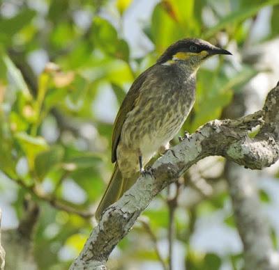 Mangrove Honeyeater (Lichenostomus fasciogularis)