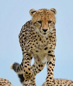 Cheetah - Masai Mara Reserve