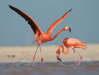 Foto Burung Flamingo
