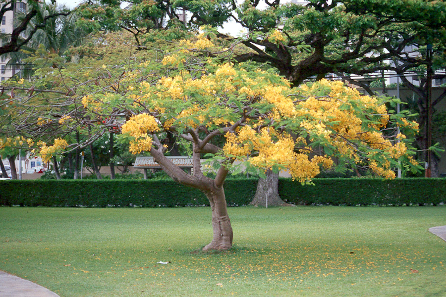 A regal tree for summer color hawaii horticulture a yellow flowered royal poinciana in downtown honolulu mightylinksfo