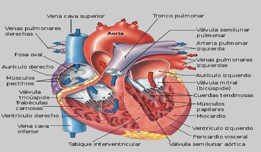 Excepcional Anatomía Y Fisiología Del Infarto De Miocardio Foto ...