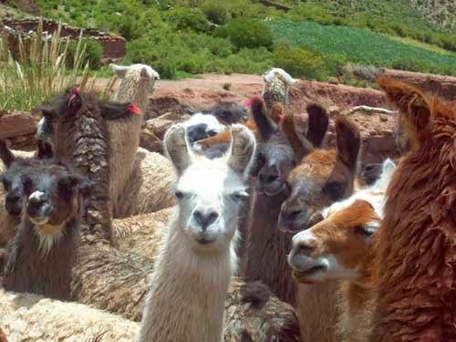 tags zuvor haben unsere Leute den Lamas bunte Wollstreifen ans Ohr angebrach
