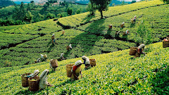 Sri Lanka tea harvest