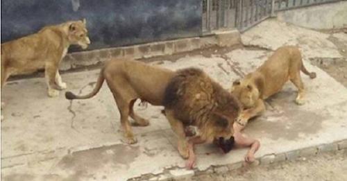 Com carta em que dizia ser um profeta, jovem tira a roupa e invade jaula de leões