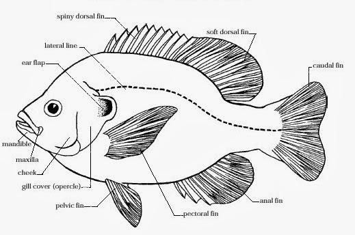 GAMBARAN DIFERENSIASI LEUKOSIT PADA IKAN MUJAIR Oreochromis mossambicus