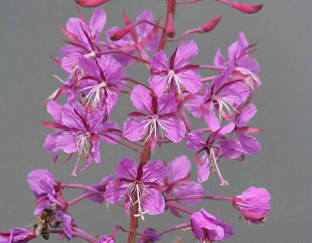 Blütenstand des Schmalblättrigen Weidenröschens